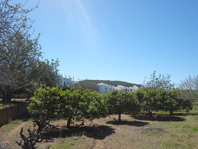 Ibiza Sant Carles de Peralta olivi