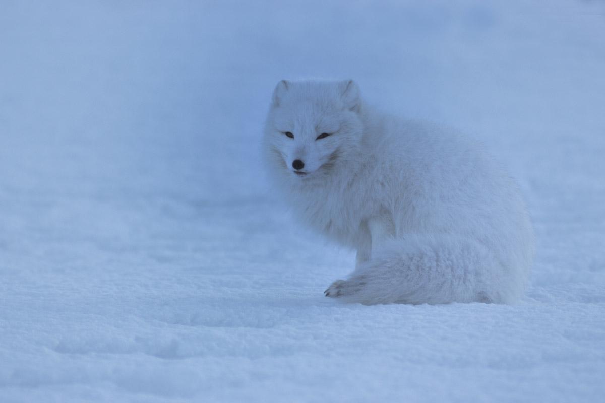 Volpe artica alle Svalbard
