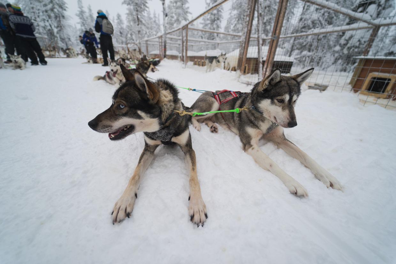 Husky in Lapponia