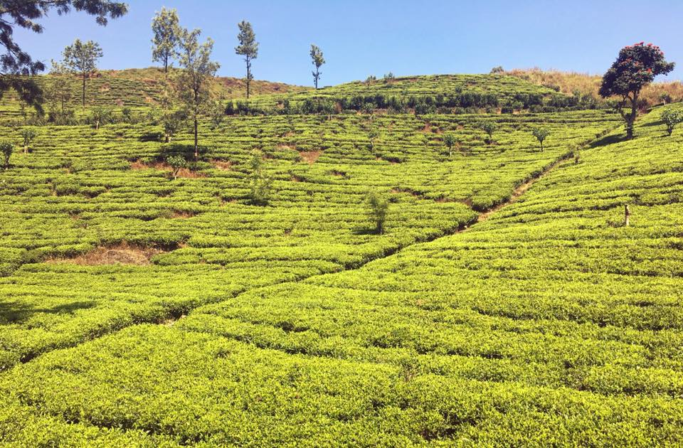 piantagioni di té Sri Lanka