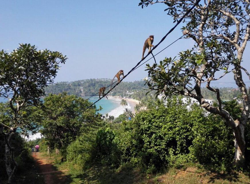 Scimmie in Sri Lanka